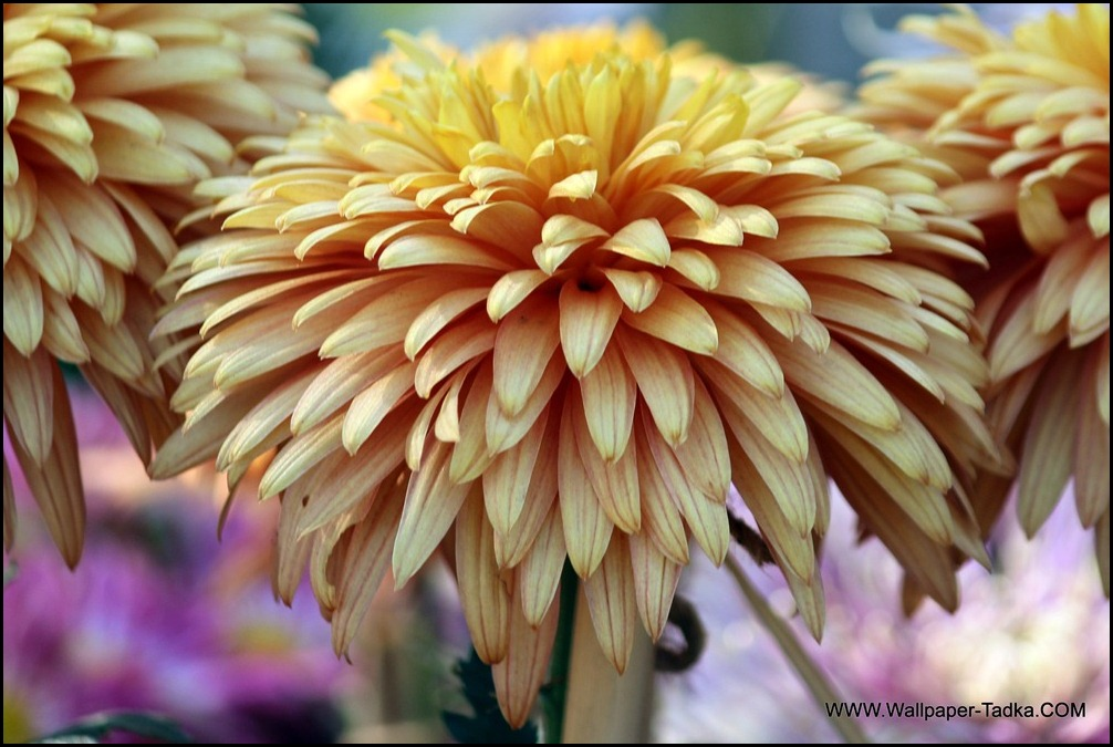 Beautiful Bloom Chrysanthemum in Peach Color
