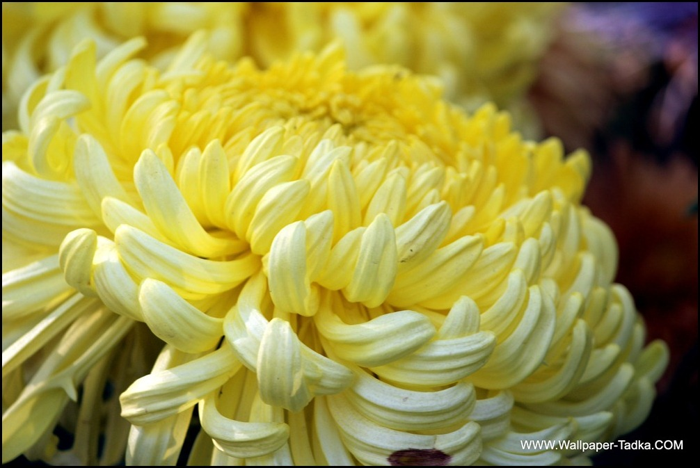 Big Chrysanthemum Flower