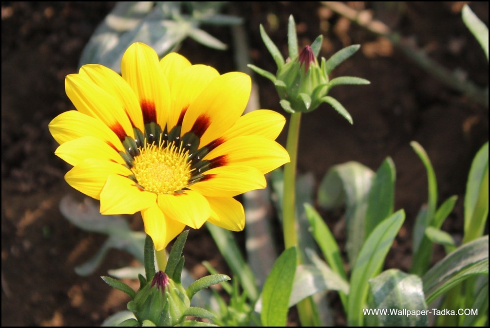 Lovely Gazania Flower Photography