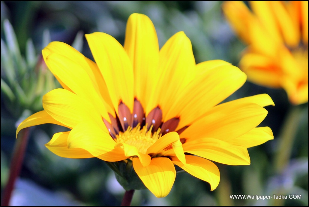 Wallpaper of Lovely Gazania Flower