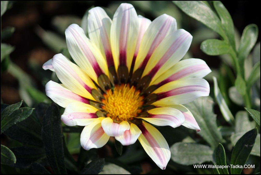 White Color Gazania Flower Photograph