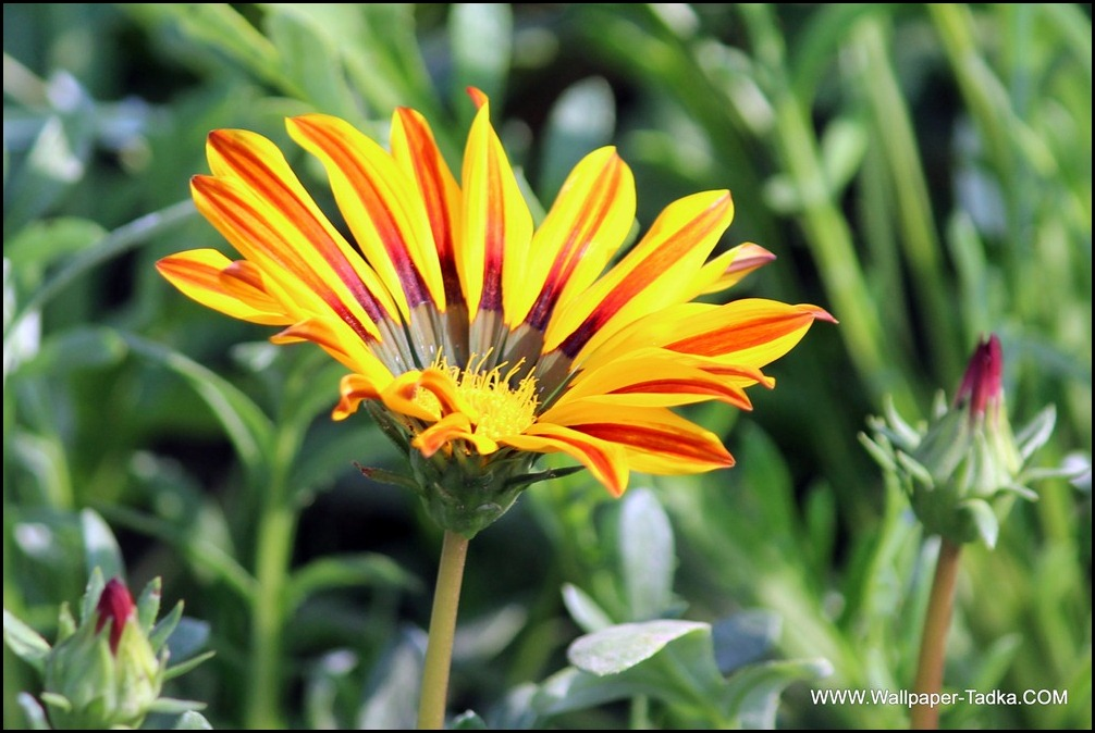 Gazania Beautiful Yellow Color Flower Image