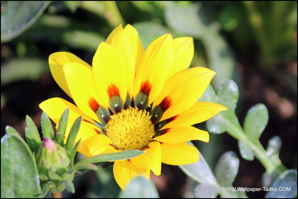 Yellow Gazania Flowers Wallpaper