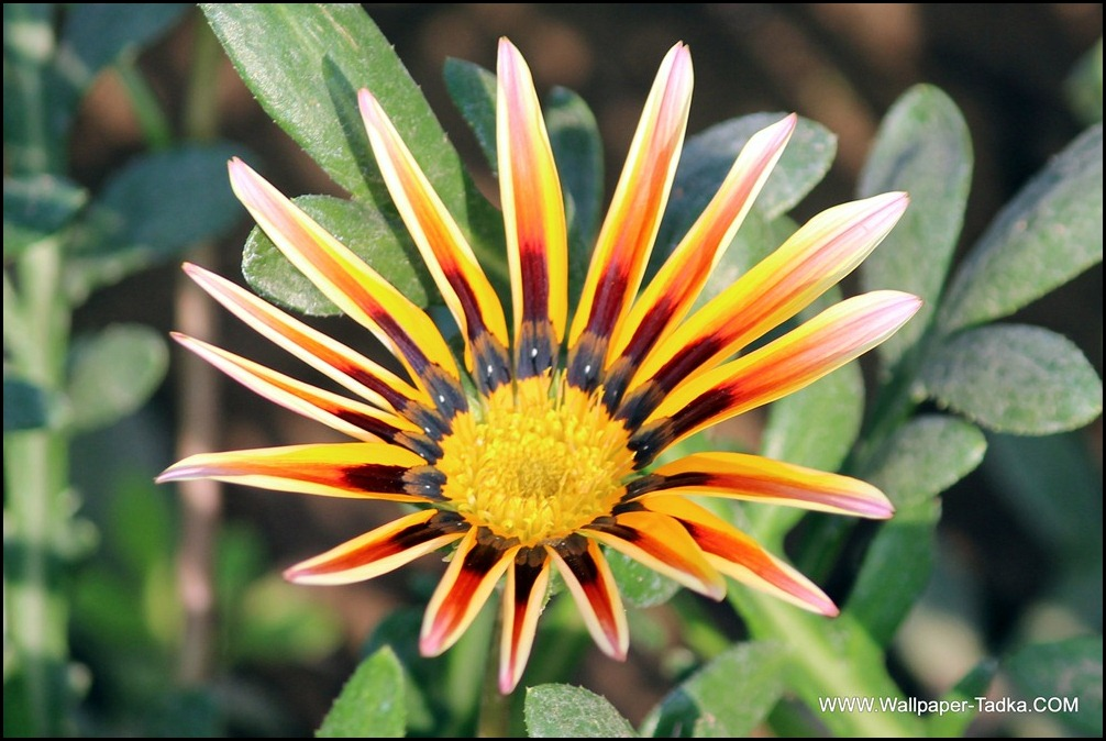 Gazania Beautiful Flower Photograph