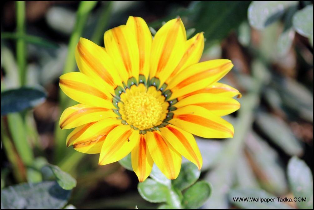 Gazania Decorative Flower Photo