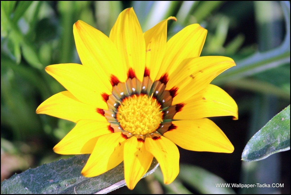 Yellow Color Beautiful Gazania Flower