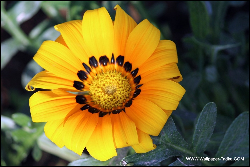 Gazania Beautiful Yellow Color Flower