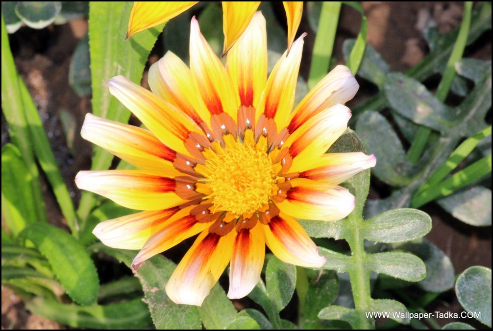 Wonderful Gazania Flower Image