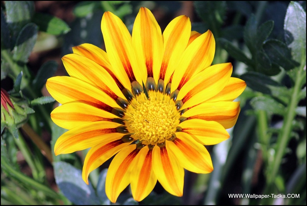 Beautiful Gazania Flower