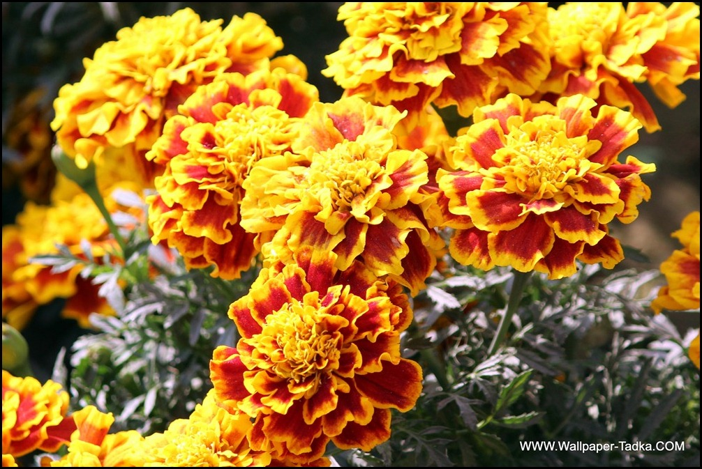 Marigold Beautiful Yellow Red Color Flowers « Wallpaper Tadka