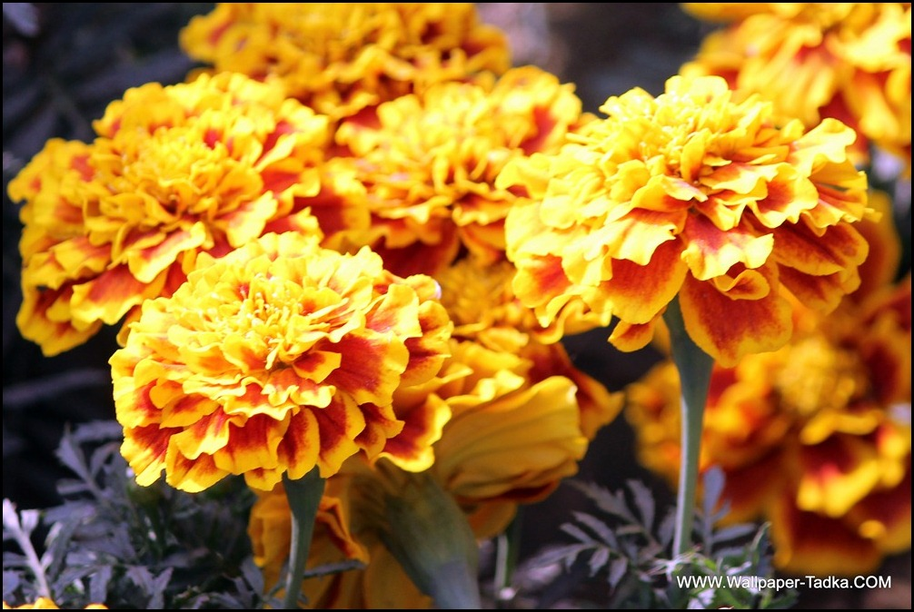 Marigold Flowers image