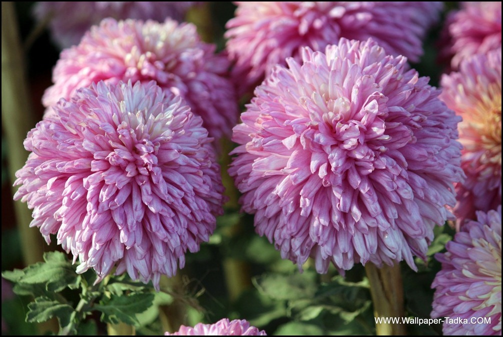 Pink Color Chrysanthemum Flowers