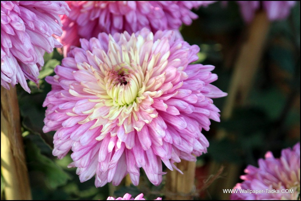 Pink Chrysanthemum Flower Image