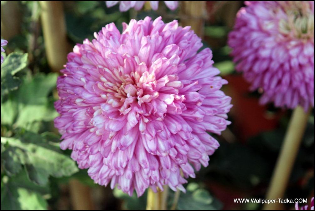 Pink Chrysanthemum Image