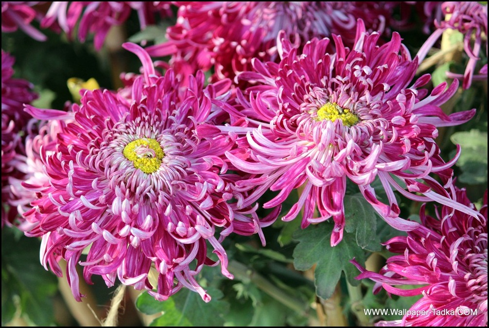 Wonderful Dual Shade Pink Chrysanthemum Flowers