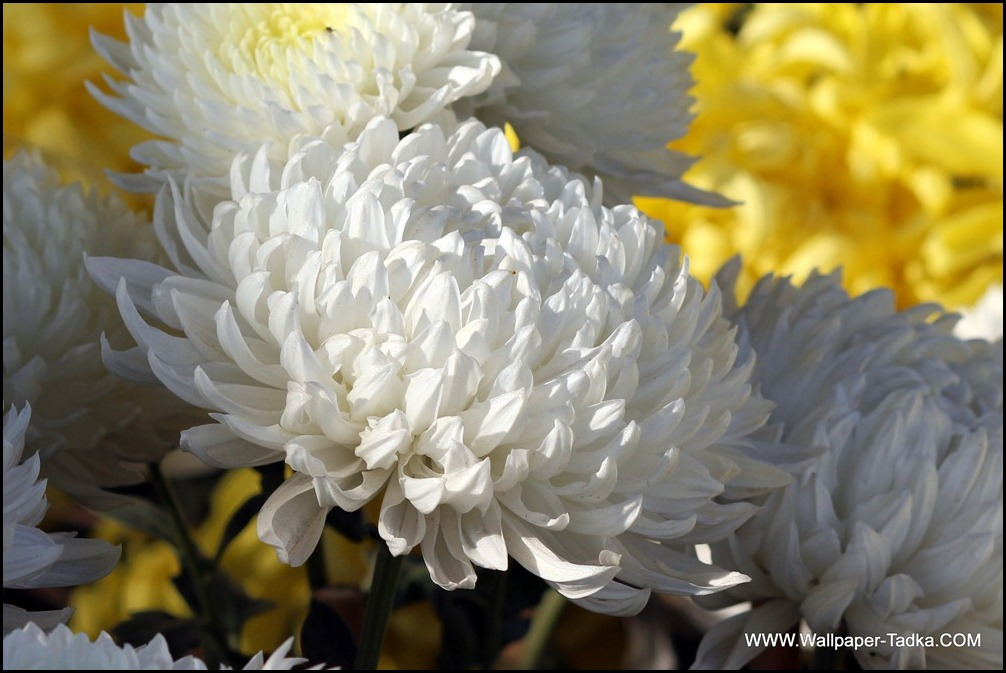 Wonderful White Chrysanthemum Flower
