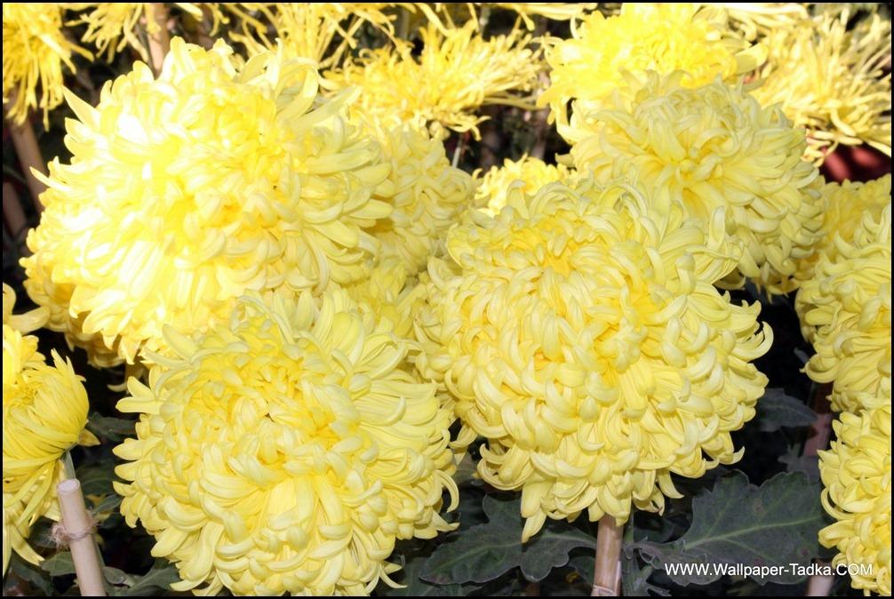 Yellow Color Lovely Chrysanthemum Flower