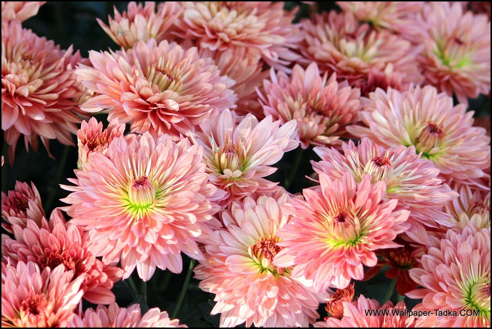 Chrysanthemum HD Wallpaper