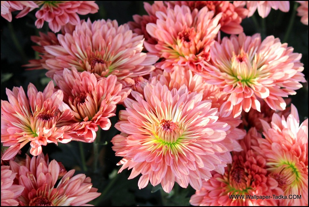 Chrysanthemum Flower Wallpaper