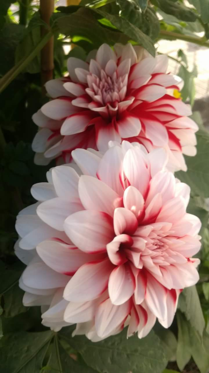 Beautiful Dahlia Flower From The Garden Of Tushar Mahajan