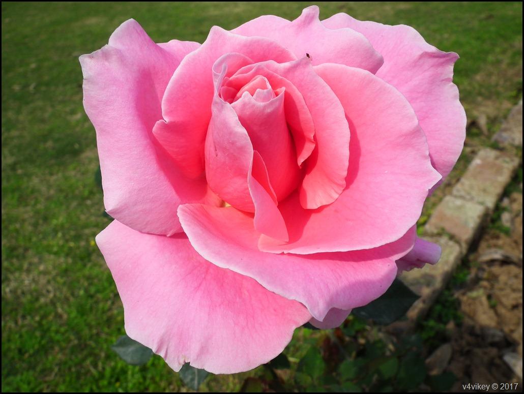 Rose Flower (77)