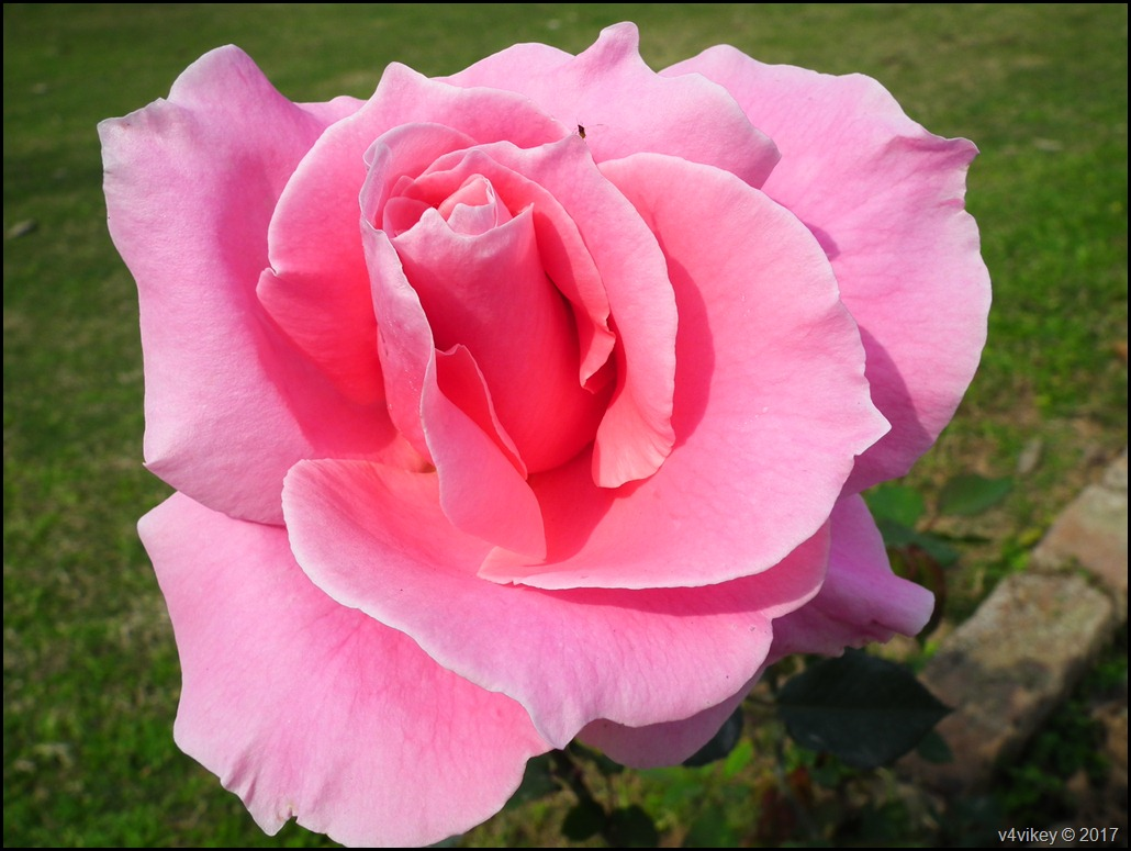 A pink rose flower means thank you wallpaper tadka a pink rose flower means thank you mightylinksfo