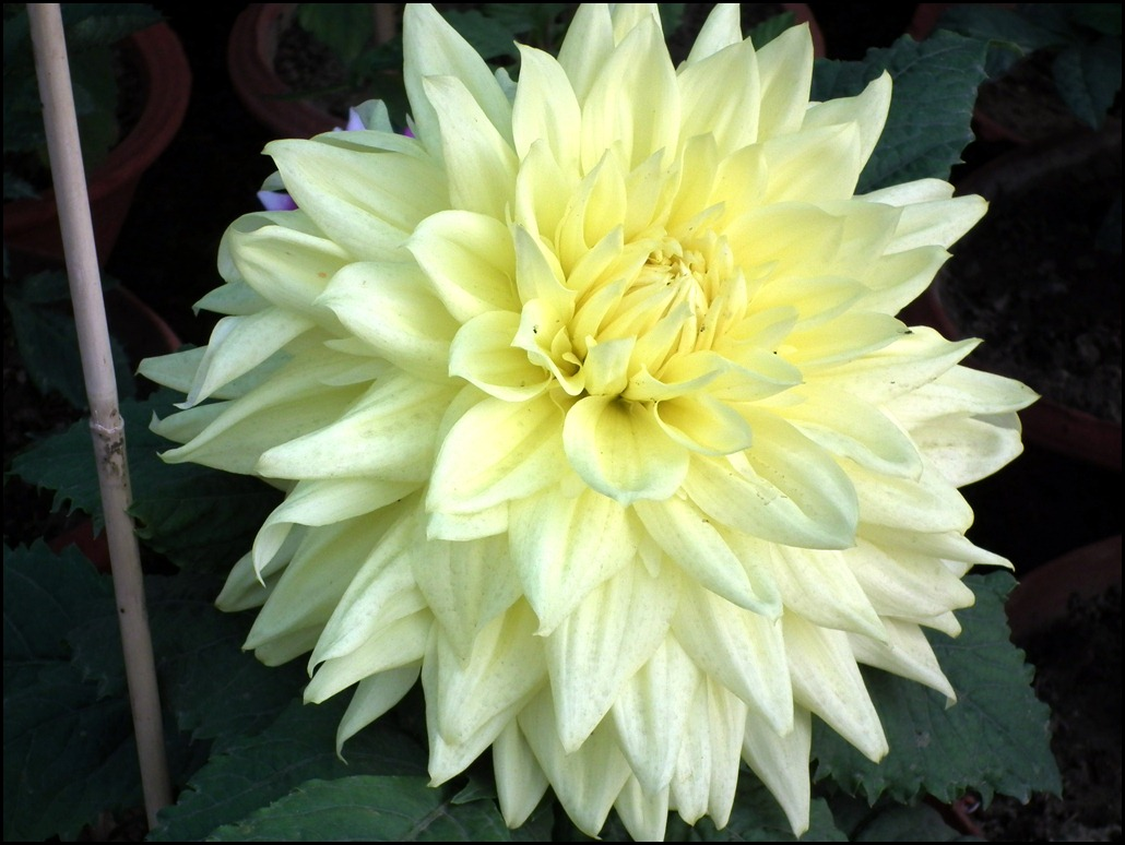Lime Color Dahlia Flower