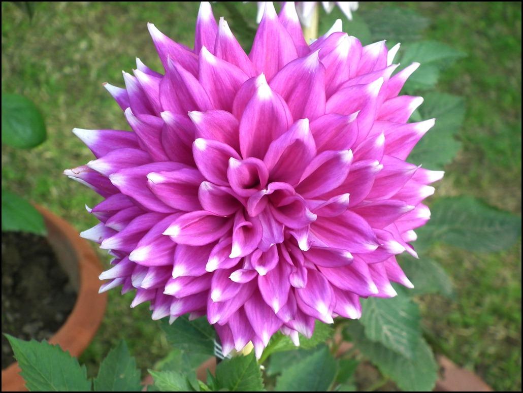 Pink White Dahlia Flower