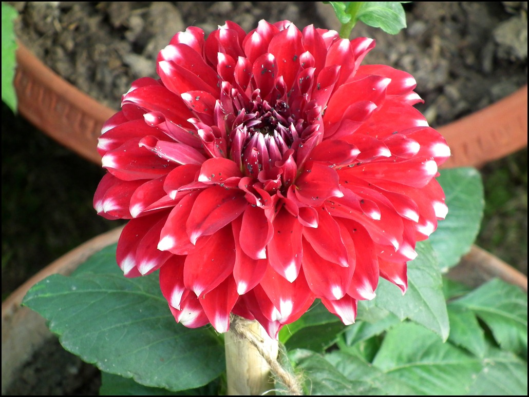 Red Checker Dahlia Wallpaper