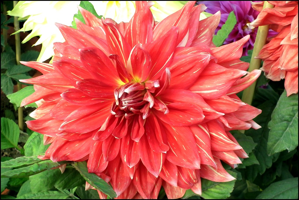 Red Decorative Dahlia Flower