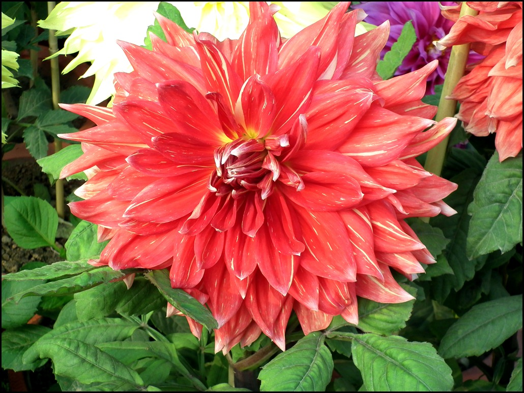 Red Decorative Dahlia Wallpaper