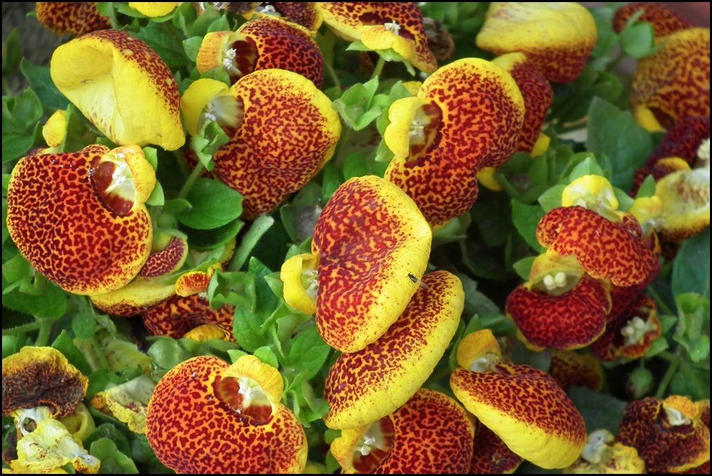 Red Slipper Flower