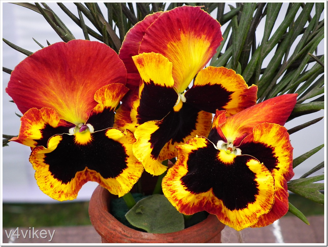 Orange Pansy Flower