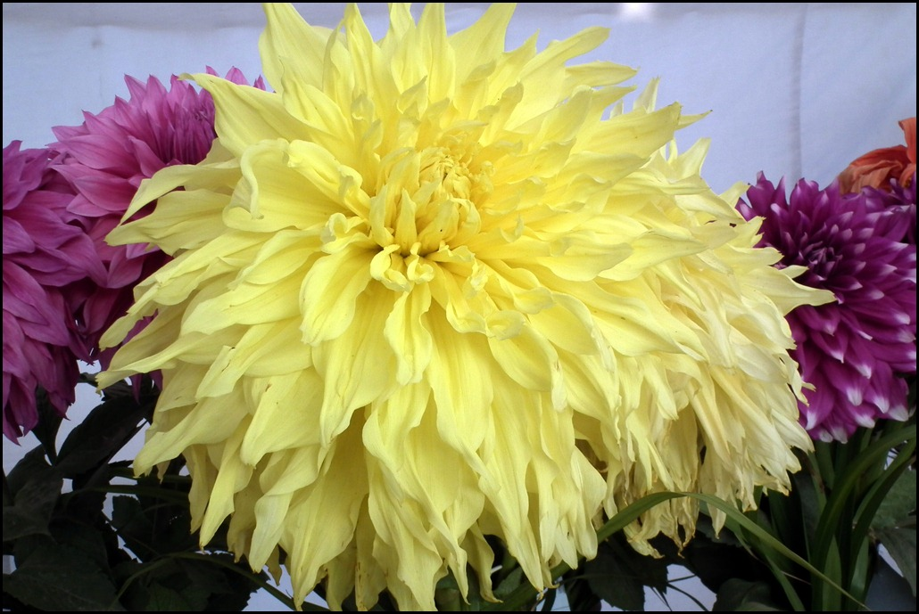 Shirwell Greta Yellow Dahlia
