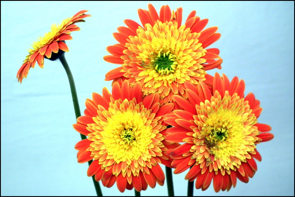 Yellow Red Daisy Flowers